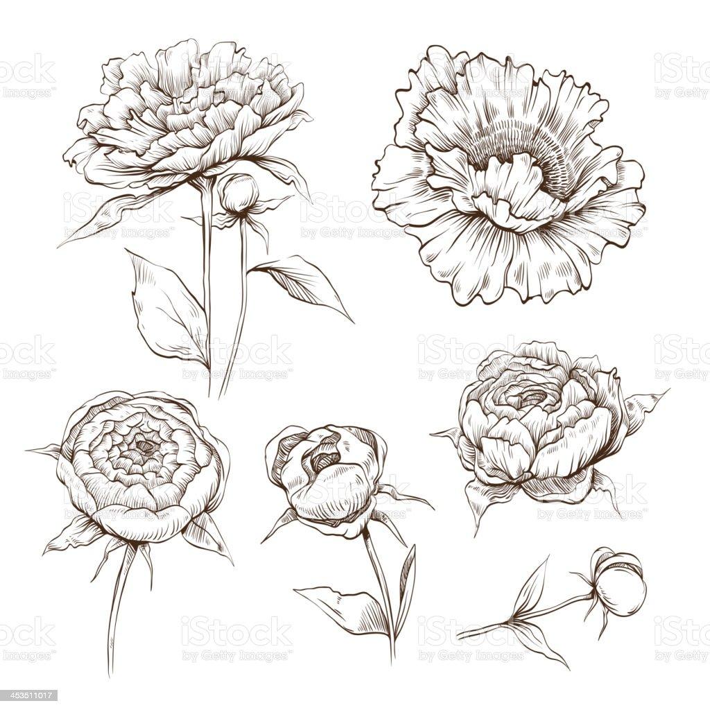Hand drawn peony flowers set vector art illustration