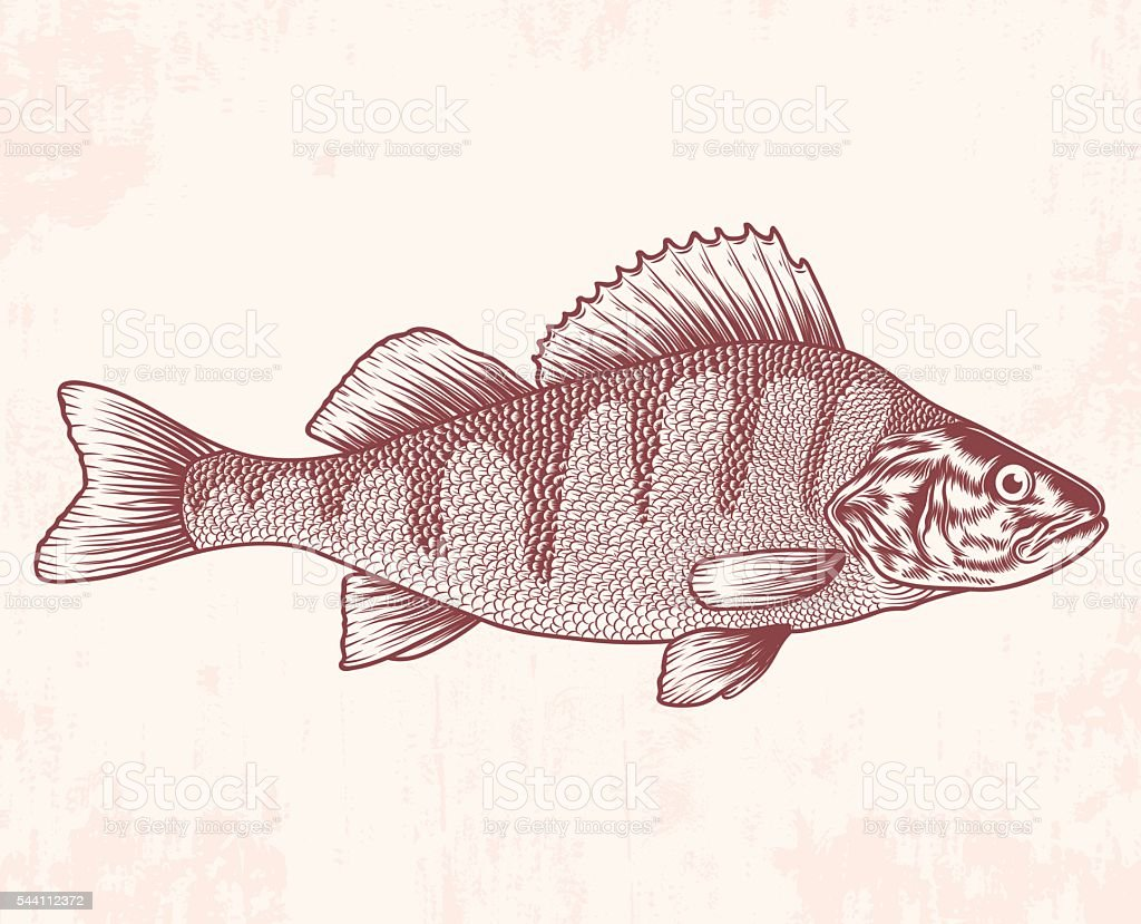 Hand drawn perch. Vector illustration vector art illustration