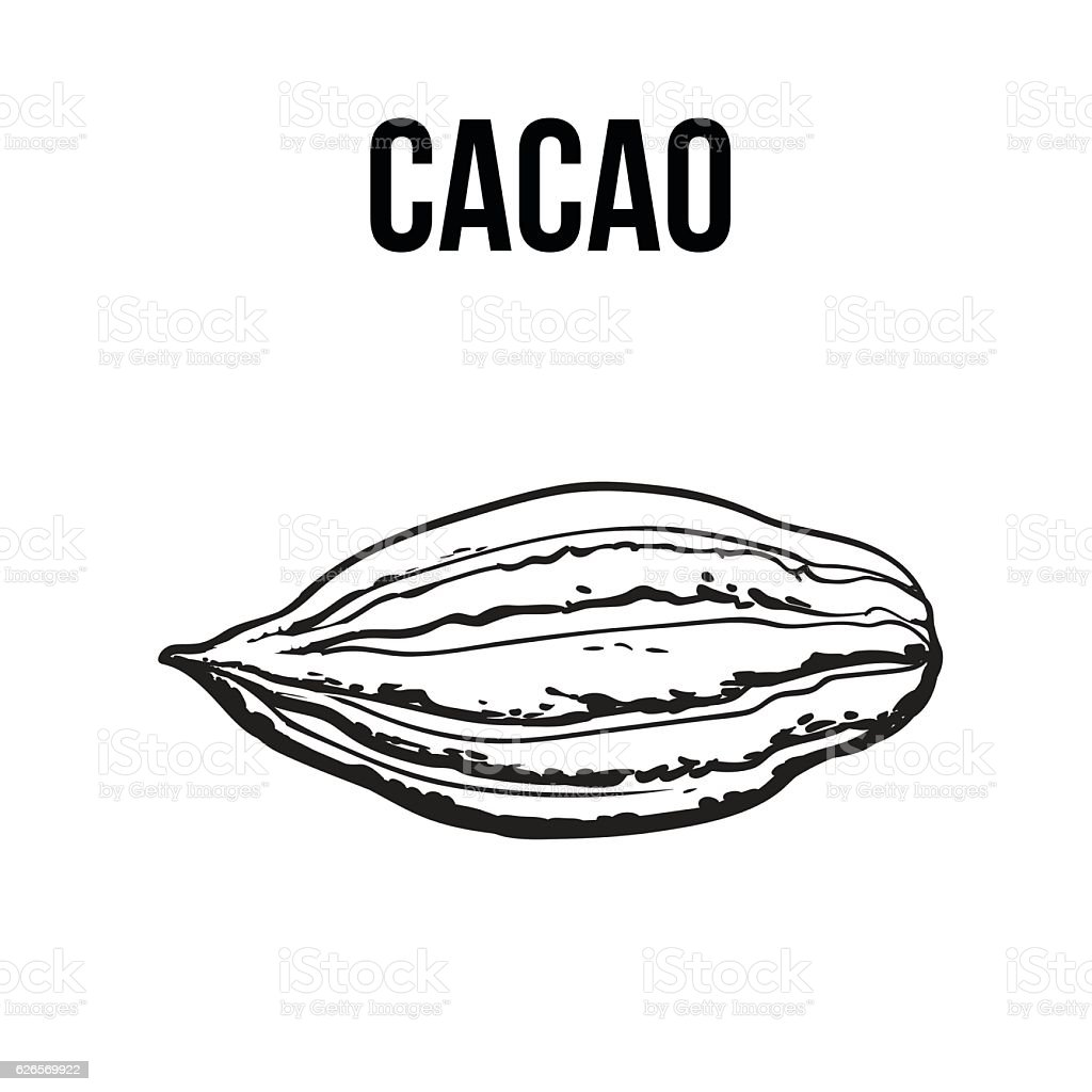 Hand drawn ripe cacao fruit, isolated vector illustration vector art illustration