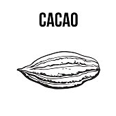 Hand drawn ripe cacao fruit, isolated vector illustration