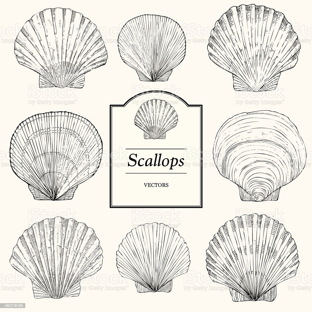 Hand Drawn Scallop Shells vector art illustration