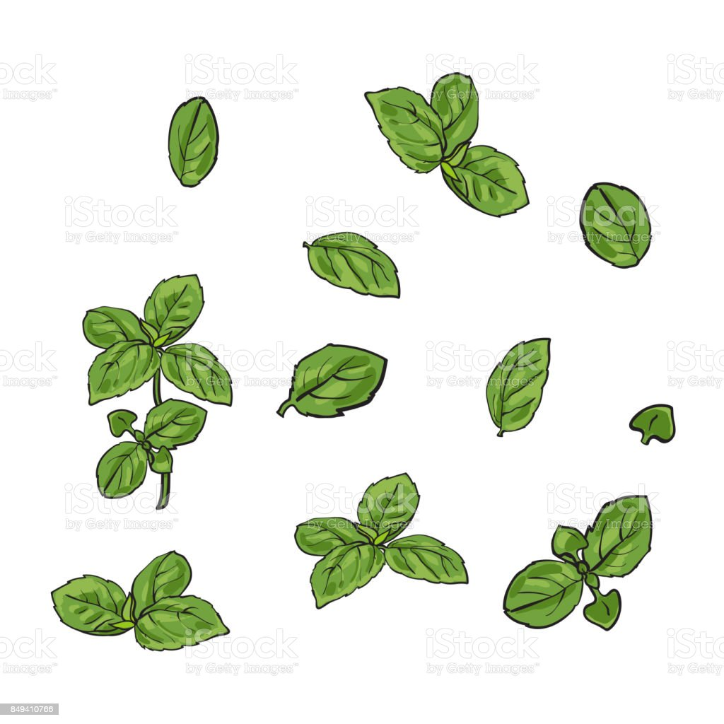 Hand drawn set of basil leaves, single and twigs vector art illustration