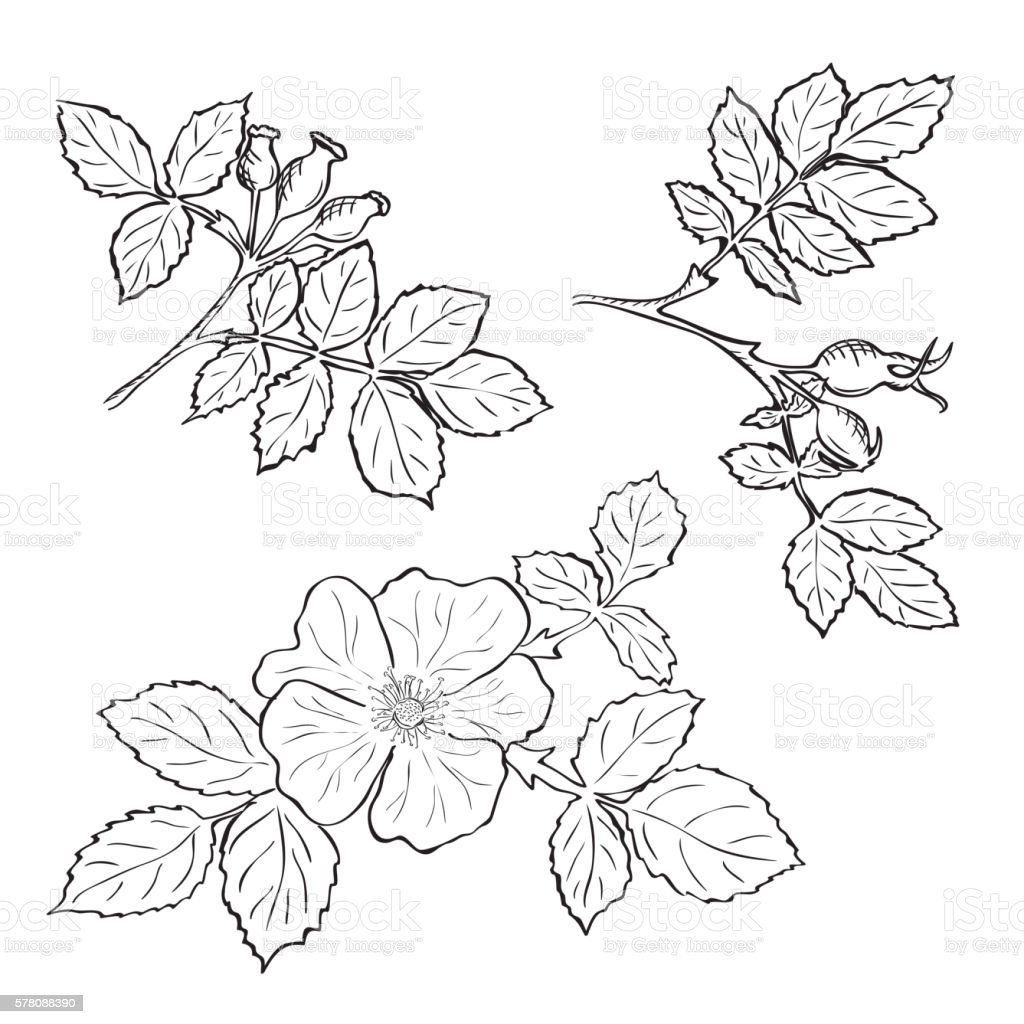 Hand drawn sketch dog rose flowers and fruits vector art illustration