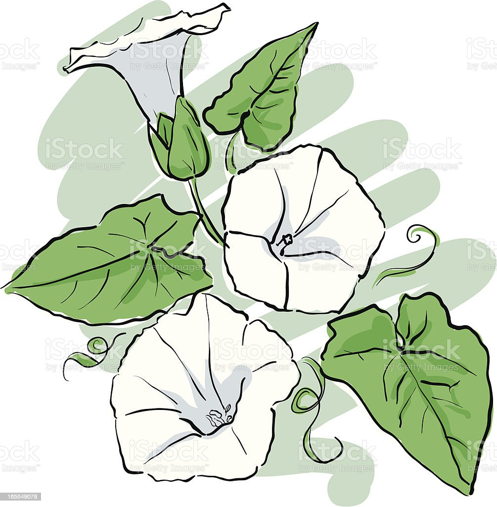 Hand Drawn Sketch of White Bindweed royalty-free stock vector art