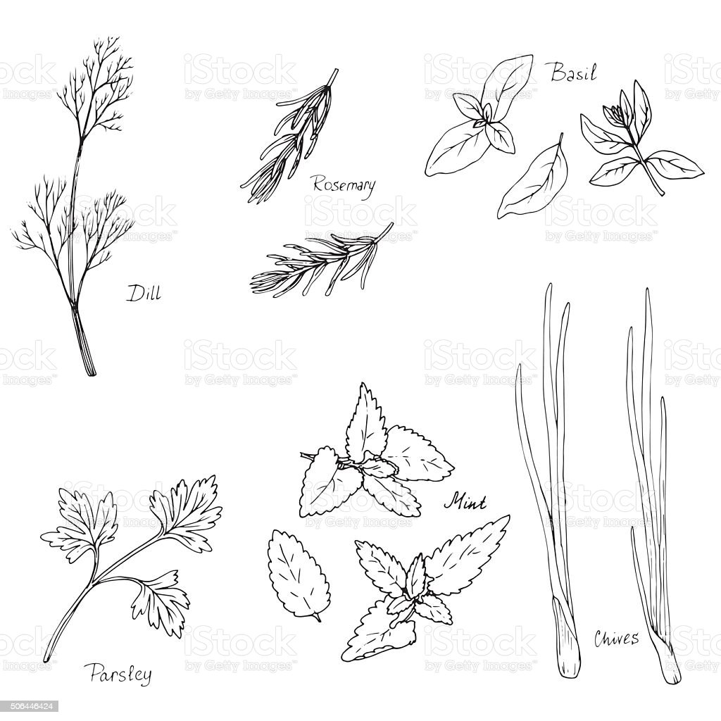 hand drawn spice herbs vector art illustration