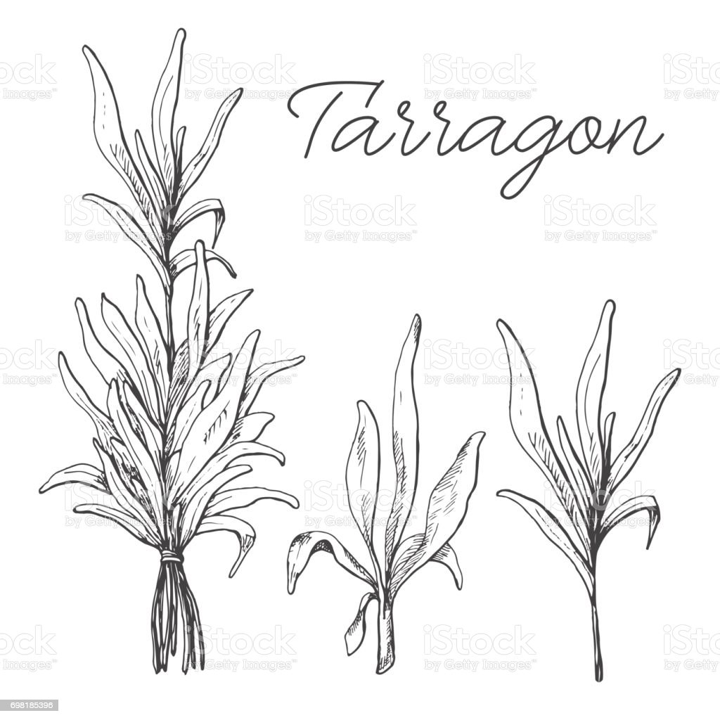 Hand drawn tarragon isolated on white background. Vector illustration of a sketch style. vector art illustration