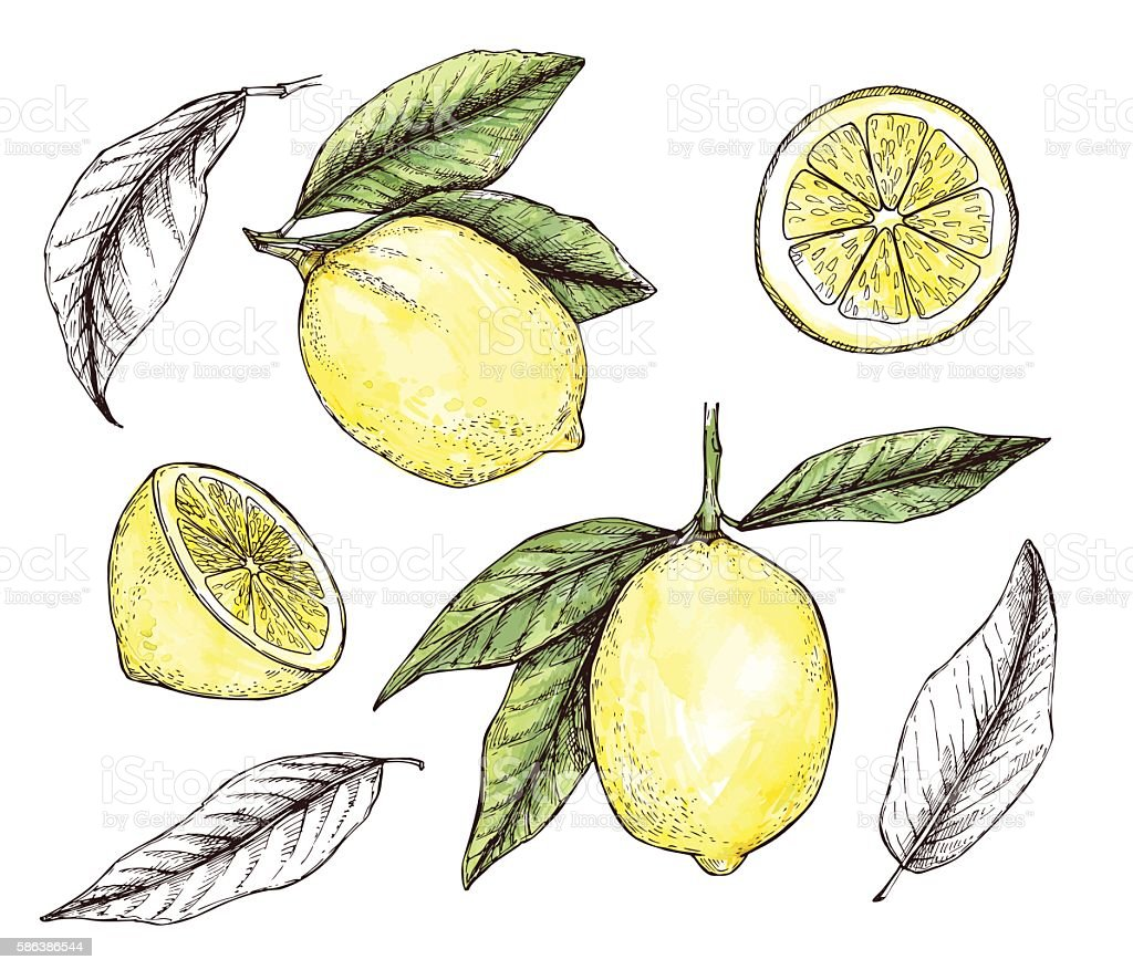 Hand drawn vector illustration - Collections of colorful Lemons. vector art illustration