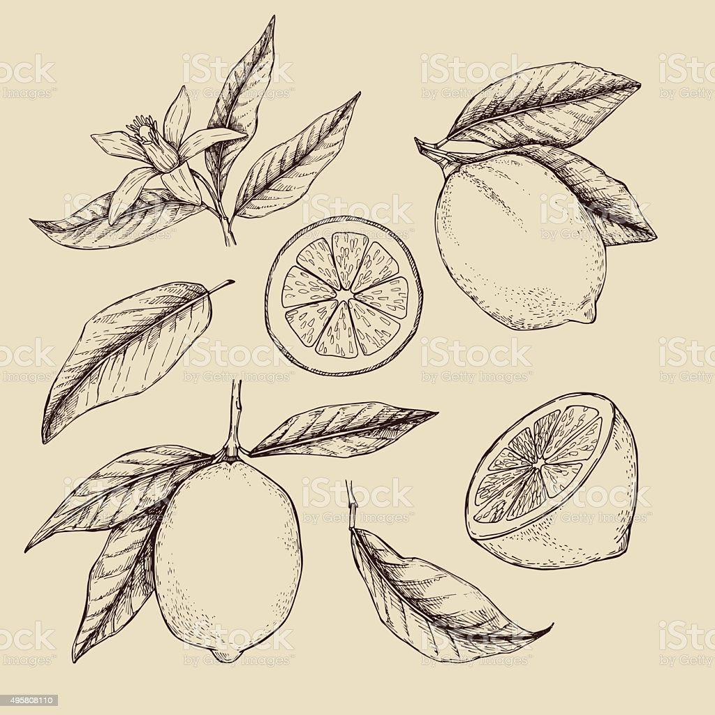 Hand drawn vector illustration - Collections of Lemons. vector art illustration