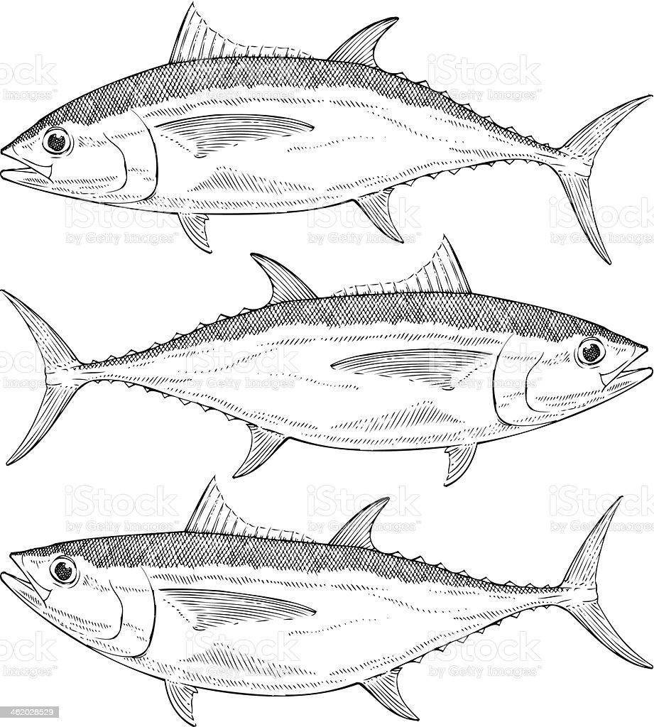 Hand drawn vector illustration of a Bigeye Tuna royalty-free stock vector art