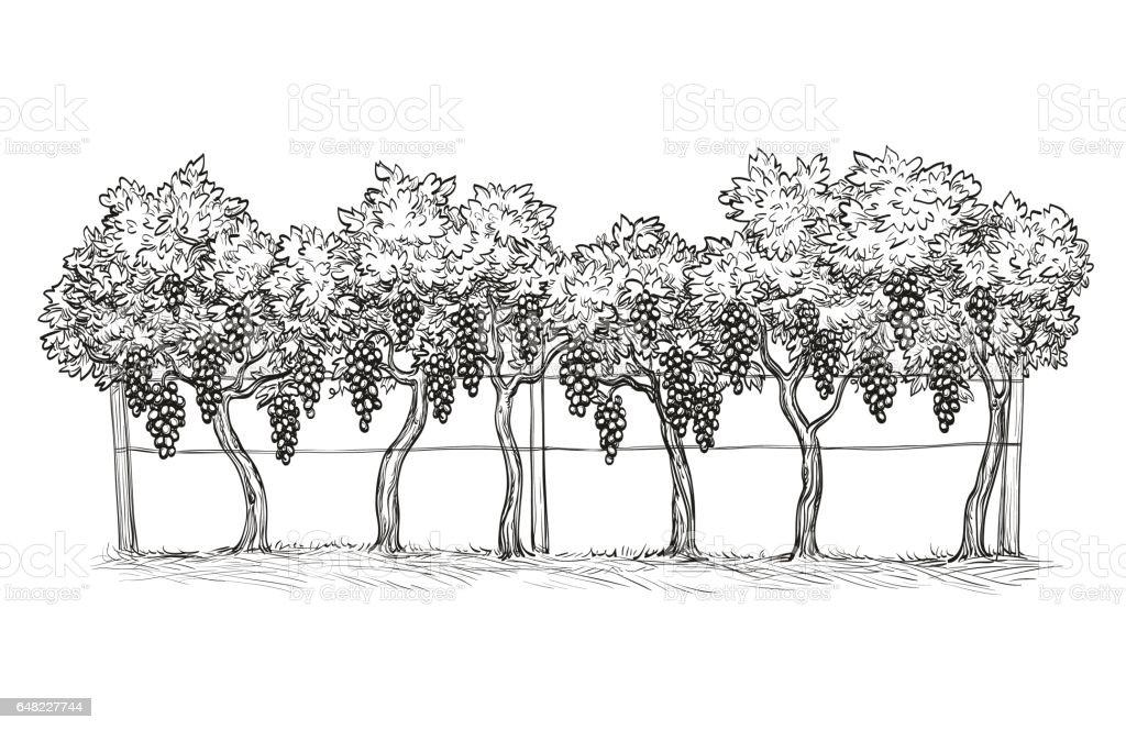 Hand drawn vector illustration of vineyard. vector art illustration