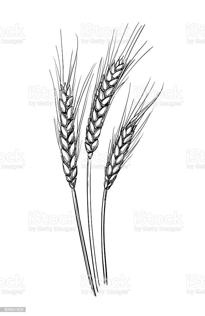 Hand Drawn Vector Illustration Of Wheat Stock Vector Art