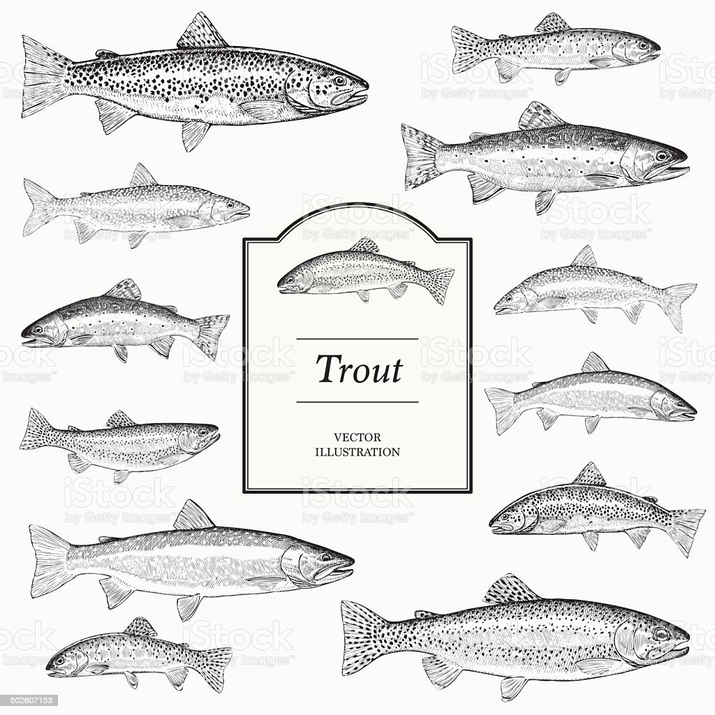 Hand Drawn Vector Illustrations of Trout vector art illustration
