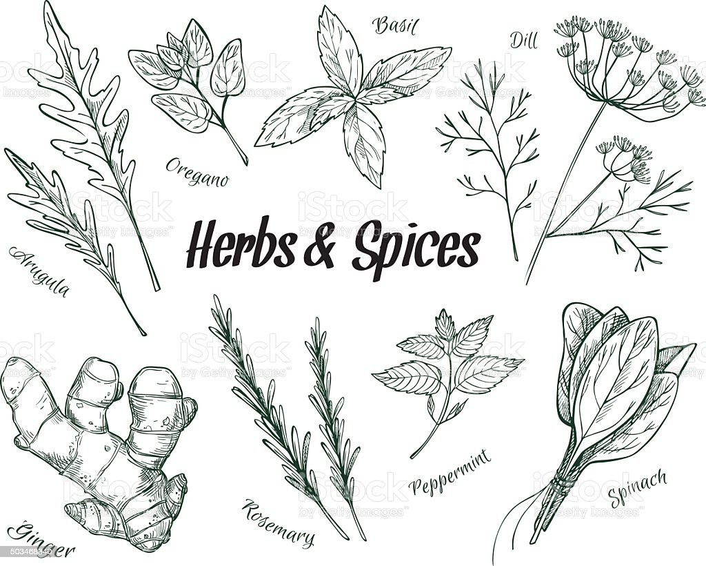 Hand drawn vintage illustration - herbs and spices. Vector vector art illustration