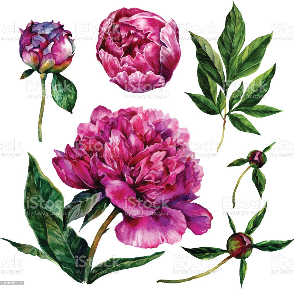 Hand drawn watercolor peonies collection vector art illustration