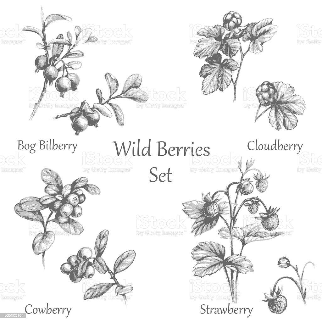 Hand Drawn  Wild Berries  Set vector art illustration