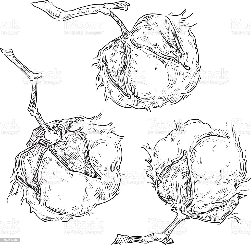 Hand made vector sketch of cotton plants. vector art illustration