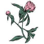Hand-drawing peonies. Vector graphic flowers. Decorative background for cards
