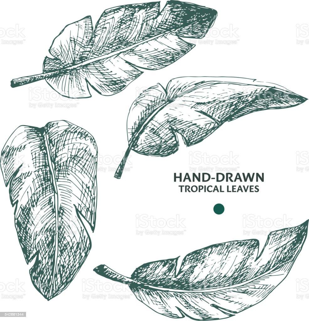 Hand-drawn banana palm leaves. vector art illustration