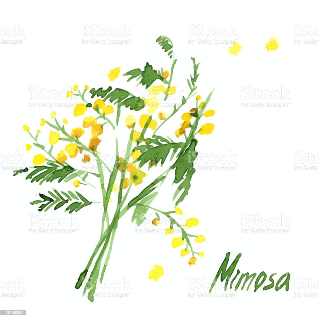 Hand-Drawn Mimosa, Painted in Watercolor vector art illustration