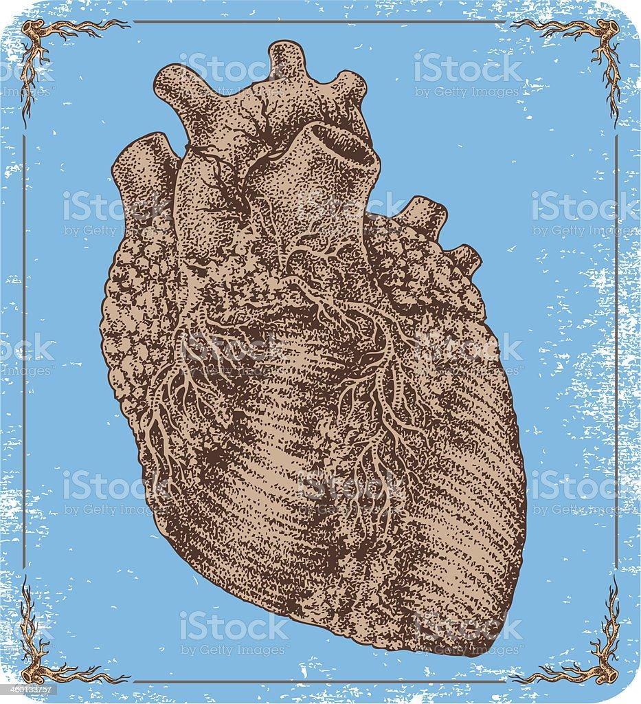 Hand-drawn vector human heart. royalty-free stock vector art