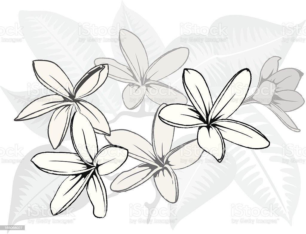 Hawaiian BW Plumeria vector art illustration