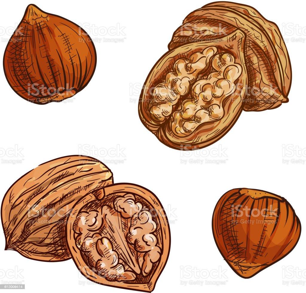 Hazelnut and walnut sketch for healthy food design vector art illustration