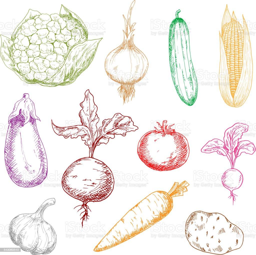 Healthful fresh multicolored vegetables sketches vector art illustration