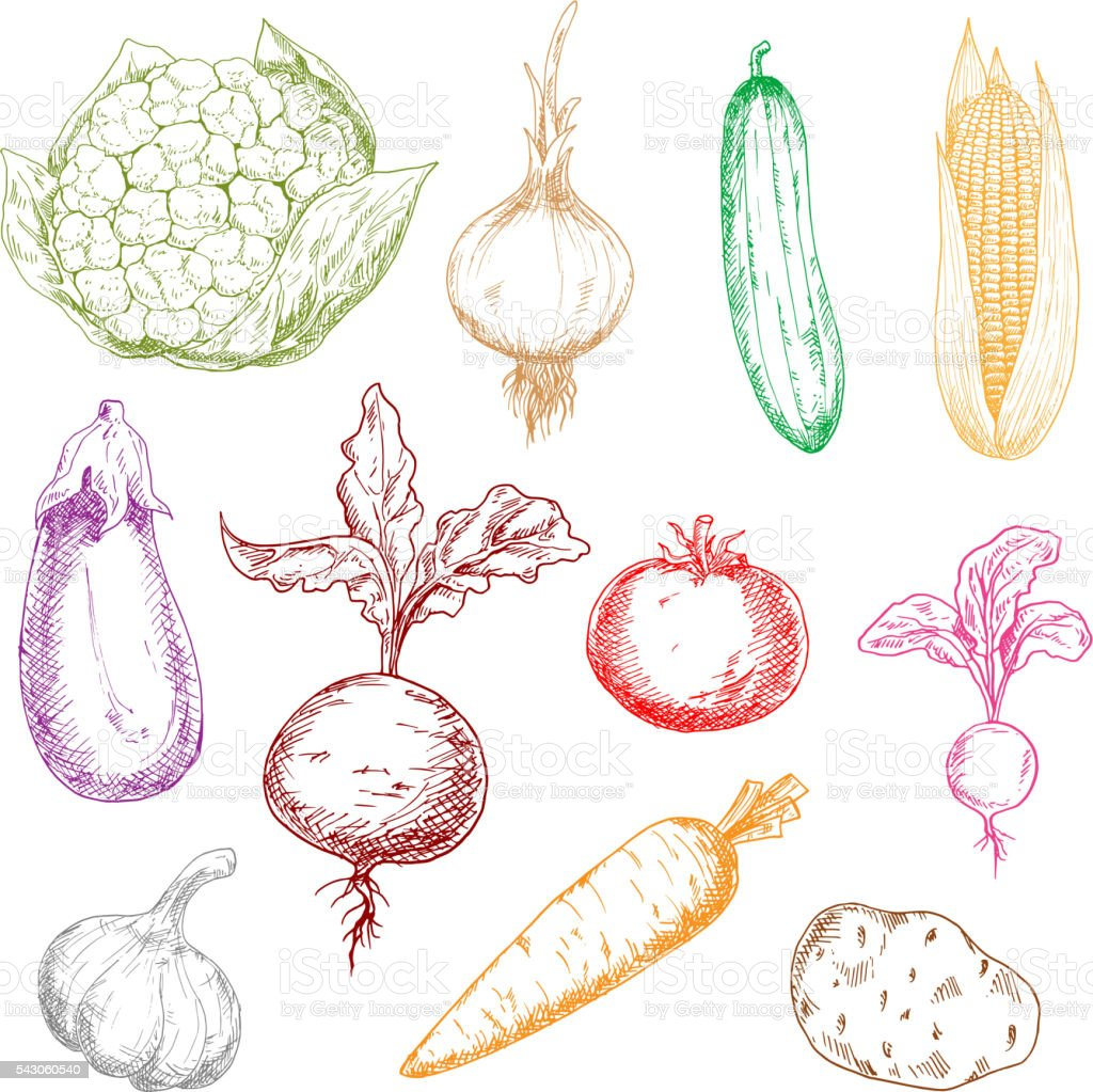 Healthful fresh multicolored vegetables sketches vector art illustration