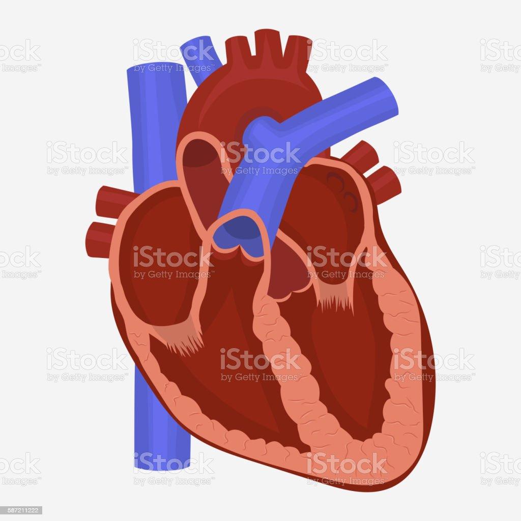 Heart anatomy vector vector art illustration