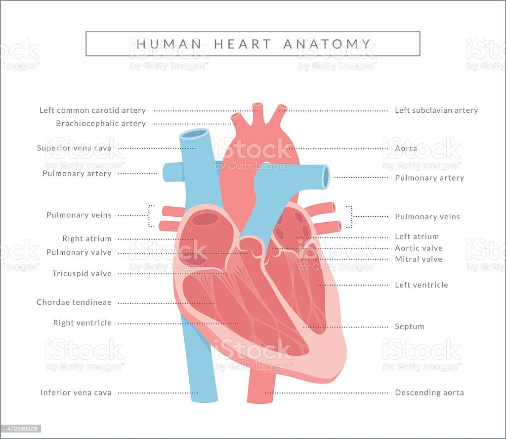 Heart Diagram vector art illustration