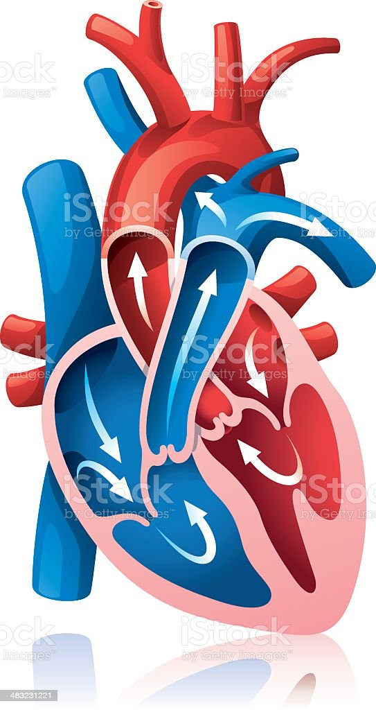 Heart section vector art illustration