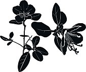 herb Wild rosemary isolated vector black silhouette