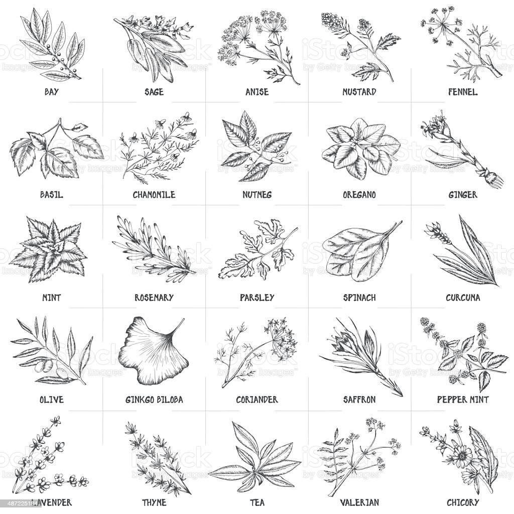 Herbal graphic set. vector art illustration