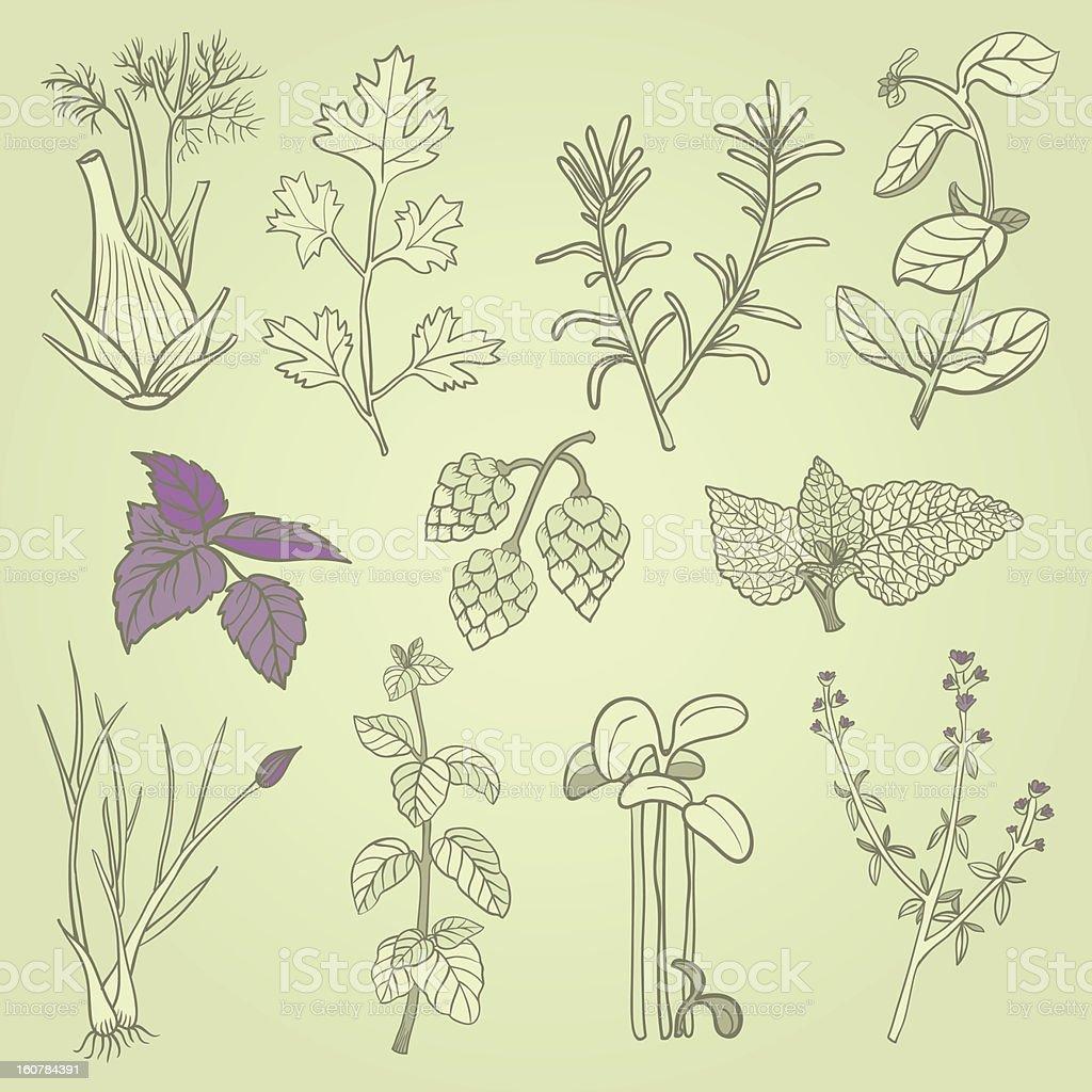 Herbs culinary set royalty-free stock vector art