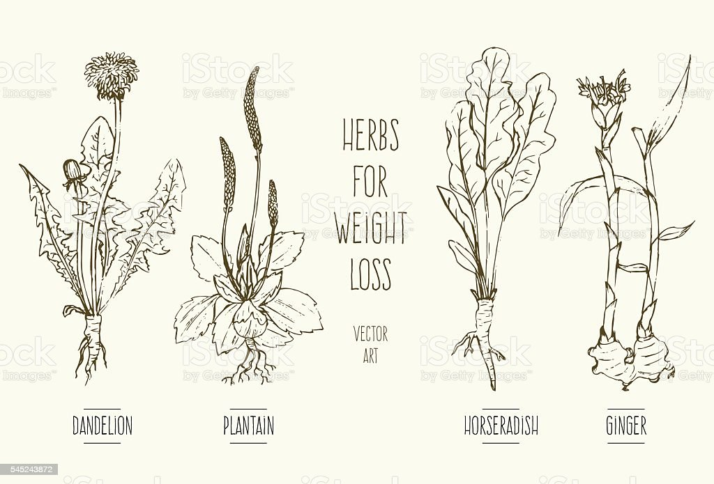 Herbs for weight loss vector art illustration