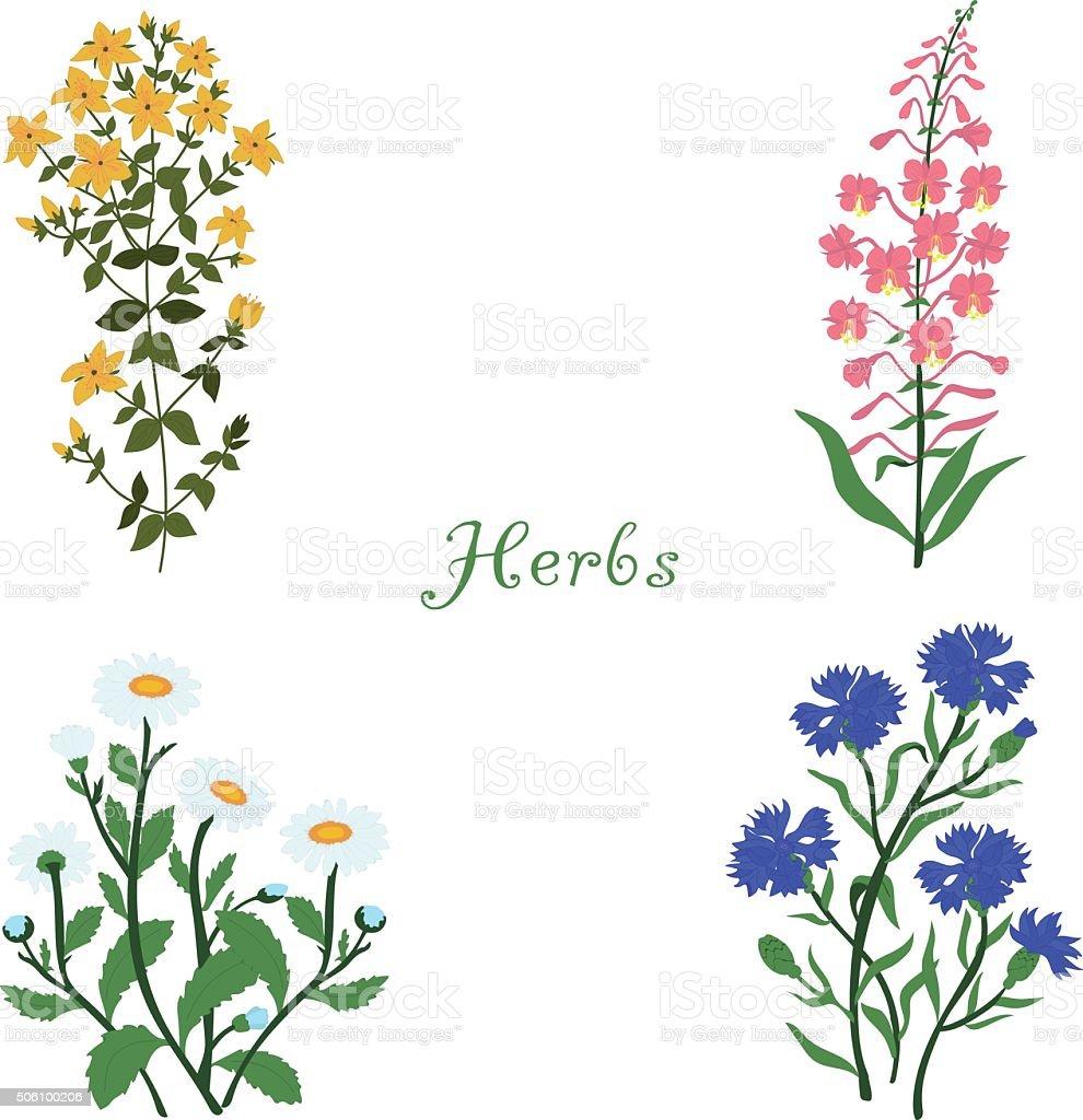 Herbs, Hypericum, Angustifolium, chamomile, cornflowers, vector illustration vector art illustration