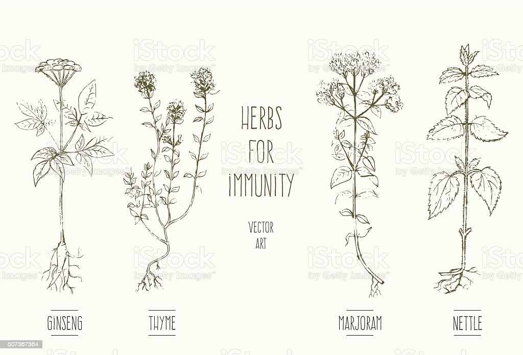 Herbs improving immune system vector art illustration