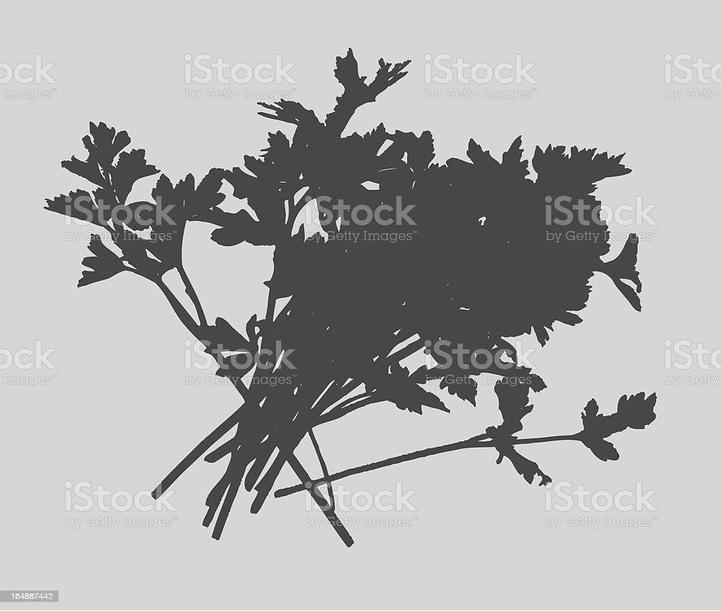 Herbs - Parsley Vector royalty-free stock vector art