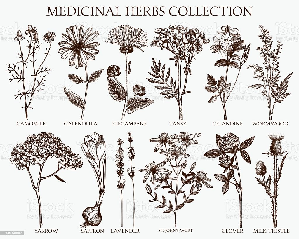 herbs sketch set. vector art illustration