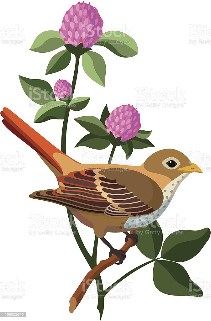 Hermit thrush and red clover royalty-free stock vector art