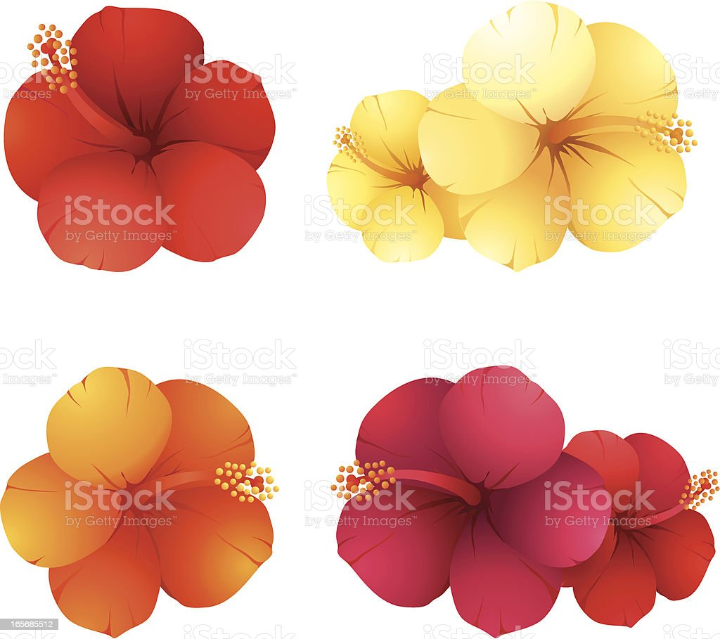 Hibiscus flowers vector art illustration