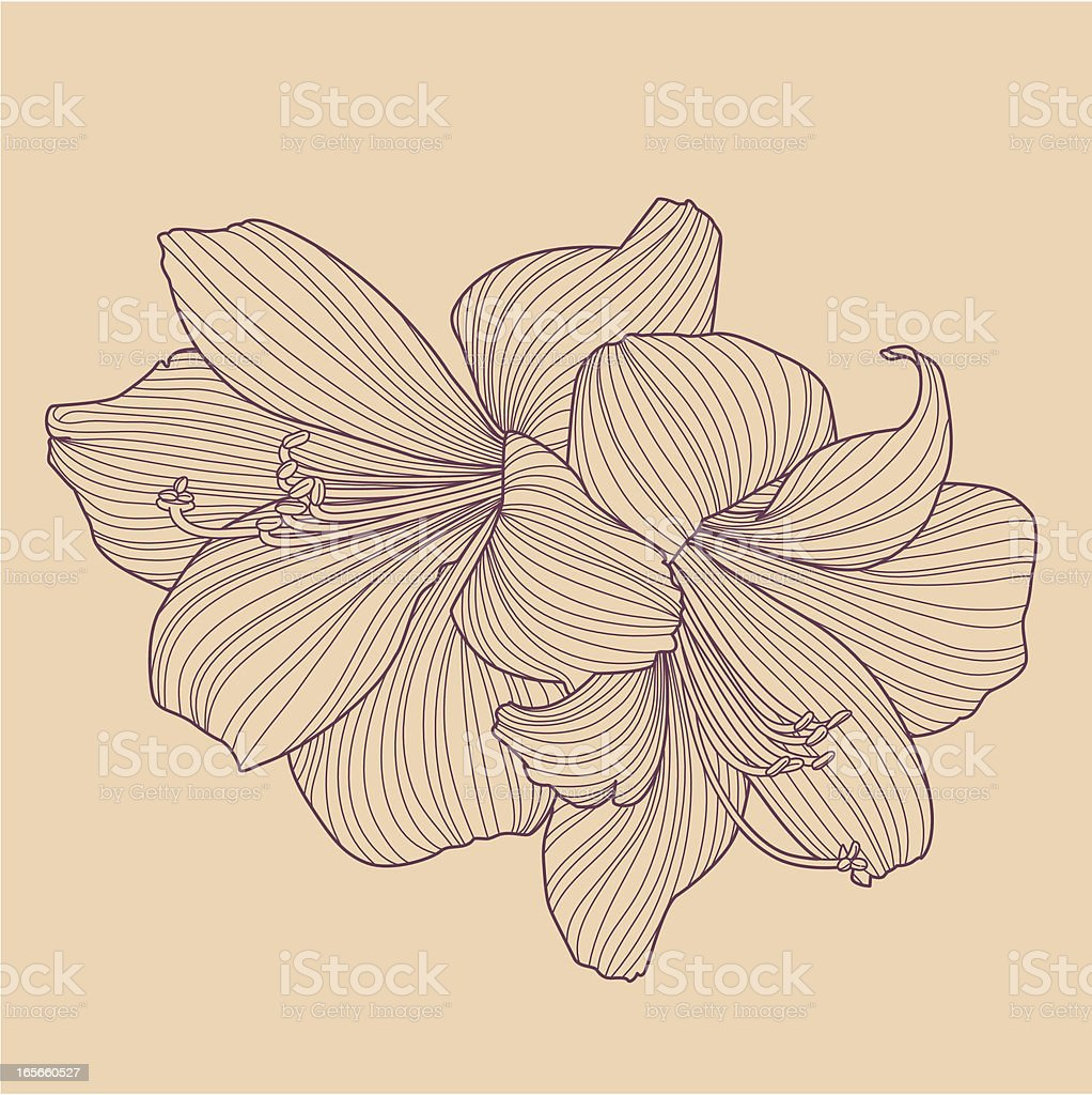 Hippeastrums - bulb flower line drawing royalty-free stock vector art