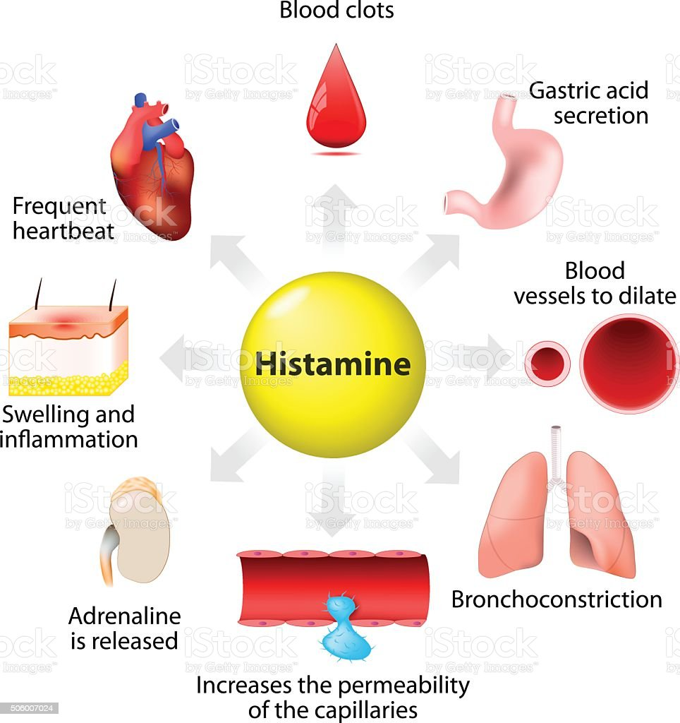 histamine action and adverse effects vector art illustration