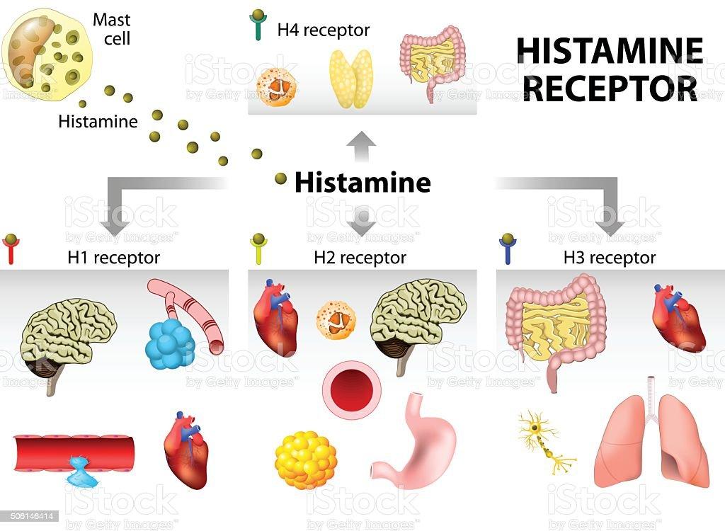 Histamine receptor vector art illustration