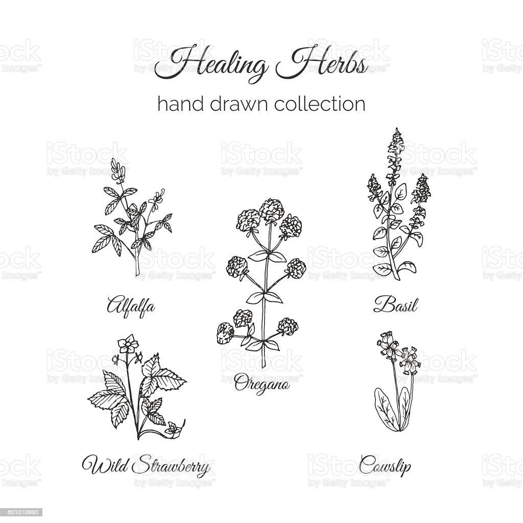 Holistic Medicine. Healing Herbs Illustration. vector art illustration