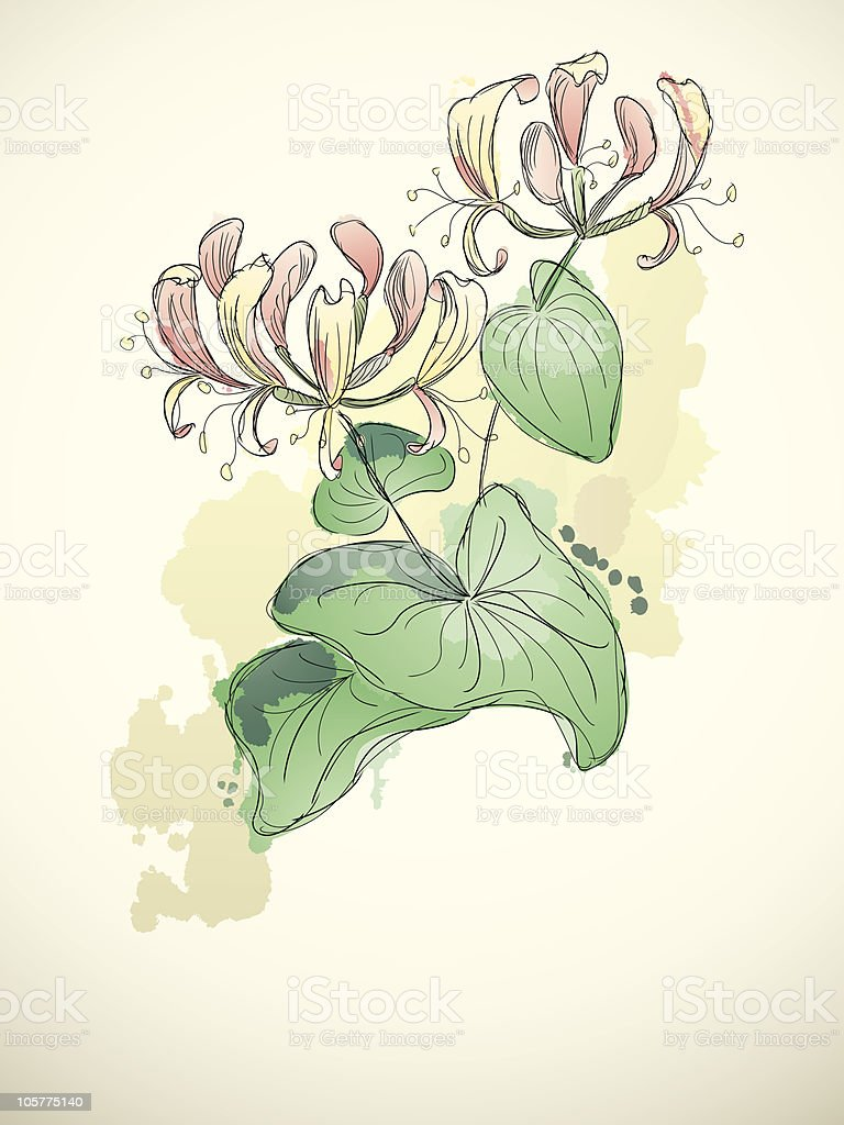 Honeysuckle vector art illustration