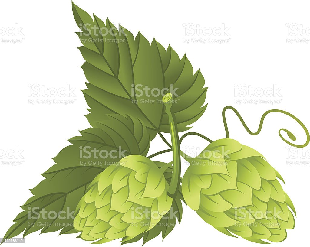 Hop plant leaves and flowers royalty-free stock vector art