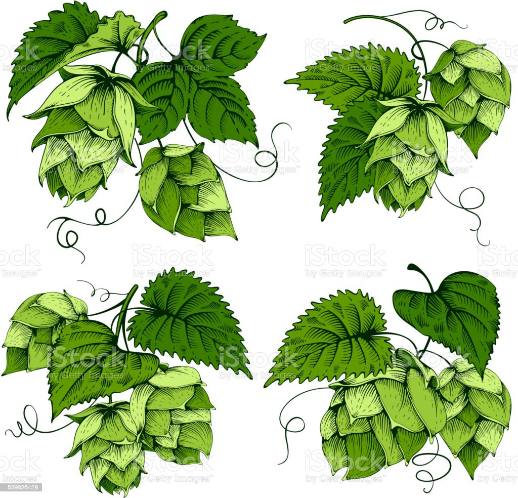 Hops designs set vector art illustration