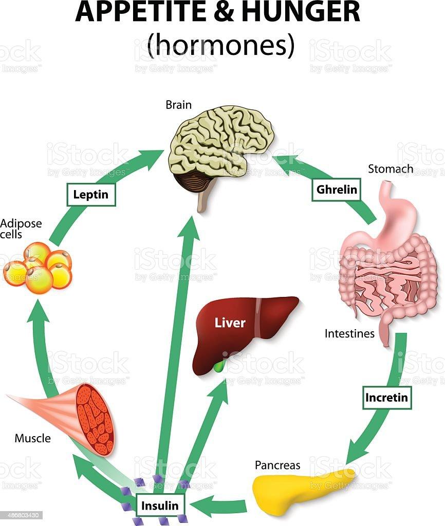 Hormones appetite & hunger vector art illustration