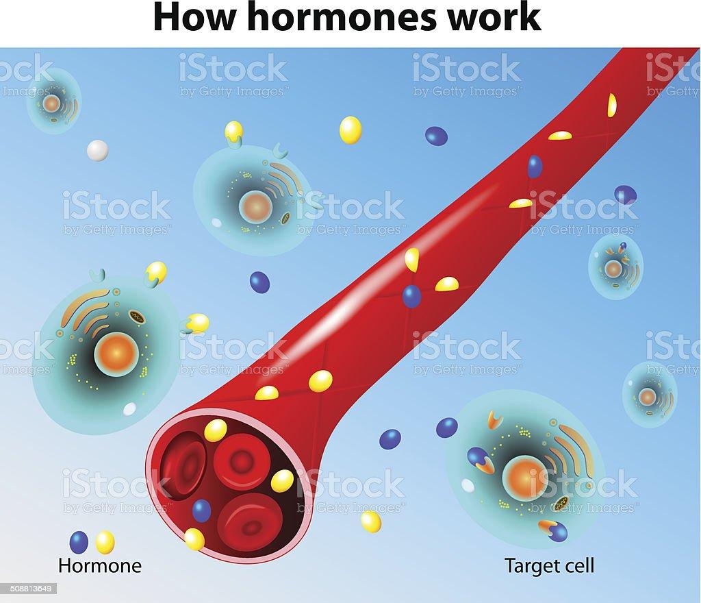 Hormones work. Vector vector art illustration